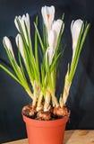 O açafrão branco floresce a planta verde, tempo de mola, fundo preto Imagem de Stock Royalty Free