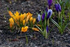 O açafrão branco, roxo e amarelo da flor da mola floresce Fotografia de Stock Royalty Free