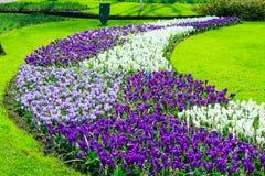 O açafrão colorido floresce a flor no jardim da mola Imagem de Stock