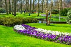 O açafrão colorido floresce a flor no jardim da mola Imagens de Stock Royalty Free