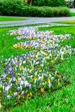 O açafrão colorido floresce a flor no jardim holandês da mola Foto de Stock Royalty Free
