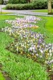 O açafrão colorido floresce a flor no jardim holandês da mola Fotografia de Stock Royalty Free