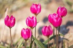 O açafrão cor-de-rosa floresce em um prado verde na mola Fim acima Fotos de Stock Royalty Free