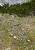 O açafrão (croci) floresce na mola em montanhas Imagem de Stock