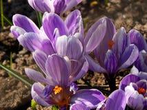 O açafrão da mola floresce o close-up Fotografia de Stock Royalty Free