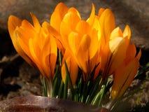 O açafrão da mola floresce o close-up Foto de Stock Royalty Free