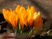 O açafrão da mola floresce o close-up Imagem de Stock