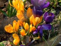 O açafrão da mola floresce o close-up Imagens de Stock