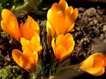 O açafrão da mola floresce o close-up Imagem de Stock Royalty Free