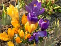 O açafrão da mola floresce o close-up Fotografia de Stock
