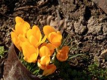 O açafrão da mola floresce o close-up Imagens de Stock Royalty Free