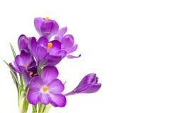 O açafrão da mola floresce com as folhas isoladas no fundo branco Imagem de Stock Royalty Free