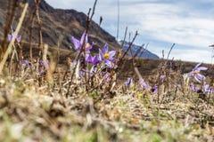 O açafrão da mola floresce a florescência nas montanhas no dia ensolarado Foto de Stock