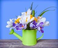 Flores dos açafrões da mola na lata molhando Foto de Stock Royalty Free
