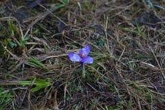 O açafrão de florescência floresce em um gramado da floresta das montanhas Imagens de Stock