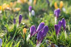 O açafrão de florescência floresce no foco seletivo do prado da mola Fotos de Stock Royalty Free