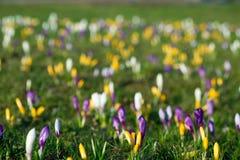 O açafrão de florescência floresce no foco seletivo do prado da mola Imagem de Stock Royalty Free