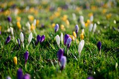 O açafrão de florescência floresce no foco seletivo do prado da mola Imagens de Stock Royalty Free