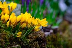 O açafrão de florescência floresce o macro Imagem de Stock