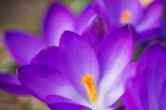 O açafrão de florescência. Horizontalmente. Fotos de Stock Royalty Free