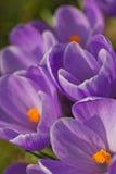 O açafrão de florescência. Verticalmente. Fotografia de Stock