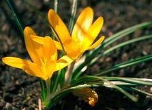 O açafrão dois amarelo na flor completa cresce na terra marrom Fotos de Stock