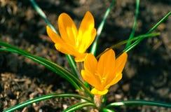 O açafrão dois amarelo na flor completa cresce na terra marrom Fotografia de Stock