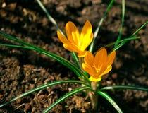 O açafrão dois amarelo na flor completa cresce na terra marrom Fotos de Stock Royalty Free