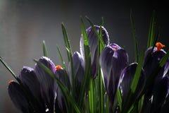 O açafrão em um fundo preto, mola bonita floresce, snowdrop Fotos de Stock Royalty Free