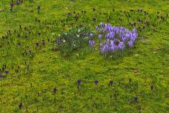 O açafrão floresce o bloomin dentro em um prado verde Imagens de Stock Royalty Free