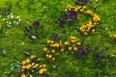 O açafrão floresce o bloomin dentro em um prado verde Fotos de Stock Royalty Free