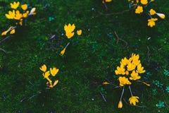 O açafrão floresce o bloomin dentro em um prado verde Imagens de Stock