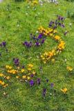 O açafrão floresce o bloomin dentro em um prado verde Imagem de Stock