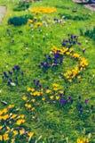 O açafrão floresce o bloomin dentro em um prado verde Fotografia de Stock Royalty Free