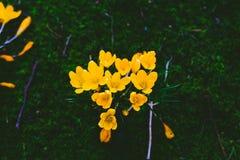 O açafrão floresce o bloomin dentro em um prado verde Fotos de Stock