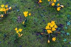 O açafrão floresce o bloomin dentro em um prado verde Foto de Stock Royalty Free