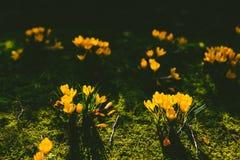 O açafrão floresce o bloomin dentro em um prado verde Fotografia de Stock