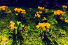 O açafrão floresce o bloomin dentro em um prado verde Foto de Stock