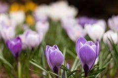 O açafrão floresce com as duas flores roxas no primeiro plano Imagem de Stock Royalty Free