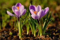 O açafrão floresce a flor Imagens de Stock