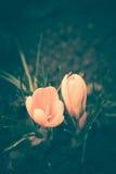 O açafrão floresce a flor Fotos de Stock Royalty Free