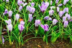 O açafrão floresce a flor no jardim da mola Imagens de Stock