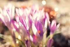 O açafrão floresce a mola com pingos de chuva Fotografia de Stock Royalty Free