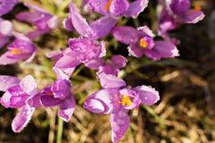 O açafrão floresce a mola com pingos de chuva Imagem de Stock Royalty Free