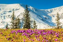 O açafrão floresce na paisagem das montanhas altas e da mola, Fagaras, Carpathians, Romênia Foto de Stock