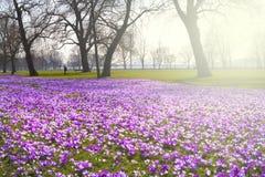 O açafrão floresce na primavera em um parque público Imagem de Stock Royalty Free