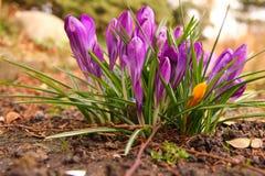 O açafrão floresce na primavera o jardim Foto de Stock Royalty Free