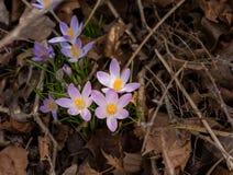 O açafrão floresce na sujeira e na palha de canteiro do jardim Fotografia de Stock