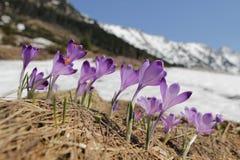 O açafrão floresce - no prado da mola da montanha Imagem de Stock Royalty Free