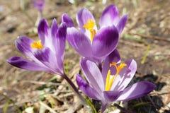 O açafrão floresce - no prado da mola da montanha Imagem de Stock